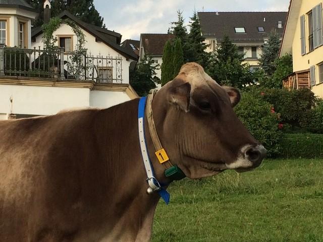 Kuh mit GPS-Tracker
